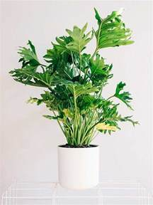 Indoor House Plants by 18 Best Large Indoor Plants Tall Houseplants For Home