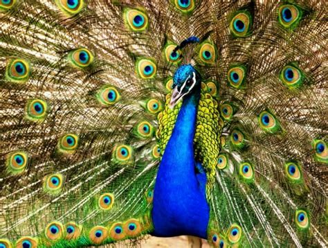 beautiful peacock pictures