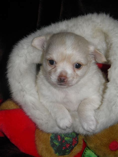 bichon mix puppies chi chon bichon frise chihuahua mix info care puppies pictures