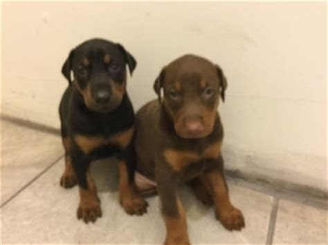 doberman puppies for sale michigan view ad doberman pinscher puppy for sale michigan detroit