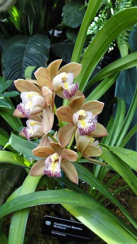 cymbidium orchid a fascinating green world