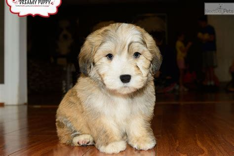 havanese breeders washington havanese puppy for sale near washington dc 400c95ce b6b1