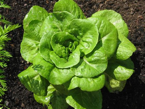 How To Lettuce From Your Garden by 301 Moved Permanently