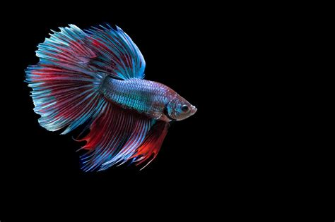 animates betta design aquarium mono betta siamese fighting fish underwater tropical