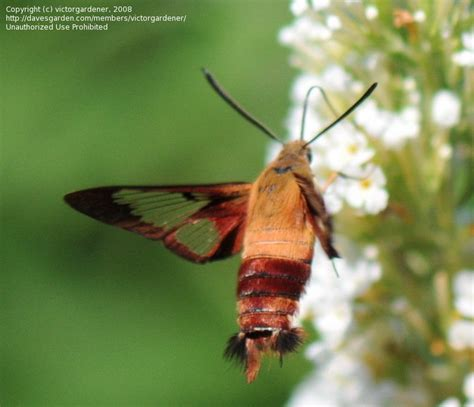 bug pictures hummingbird moth common clearwing hemaris