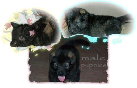 german shepherd puppies jacksonville fl german shepherd puppies jacksonville fl dogs our friends photo