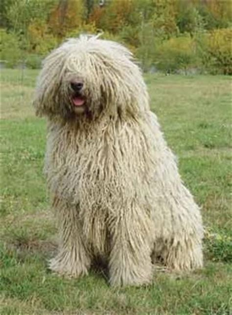 mop breed 25 best images about komondor mop dogs on coats westminster show and