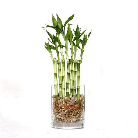 plant heat l home depot brussel s bonsai 12 in fence bamboo in square glass