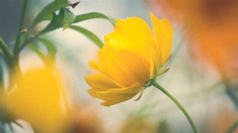 computer wallpaper yellow flower wallpaper yellow flower beautiful hd flowers 1782