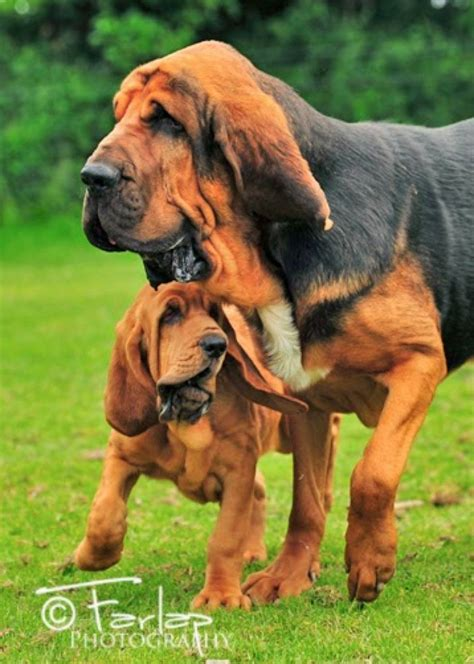 bloodhound puppies ohio 108 best images about bloodhound on