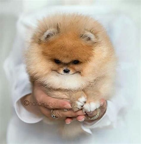 how to take care of a teacup pomeranian best 25 pomeranian dogs ideas on pomeranian puppy pomeranians and teacup