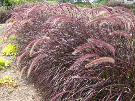 online plant guide pennisetum setaceum purpureum red