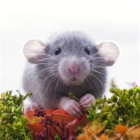 Hamster Bed Best 25 Cute Rats Ideas On Pinterest Rat Rats And