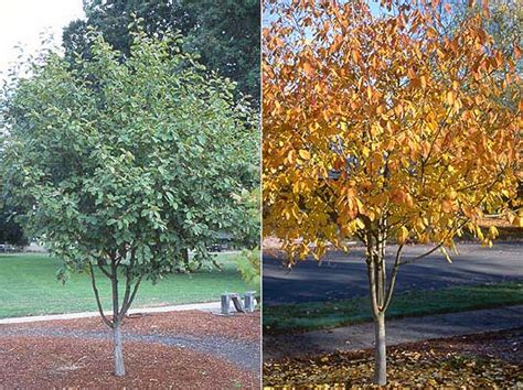 fruit tree nursery oregon rhamnus purshiana landscape plants oregon state