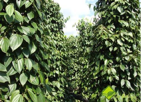 Bibit Lada Perdu ratri ginanjar priyantama budidaya tanaman lada dengan