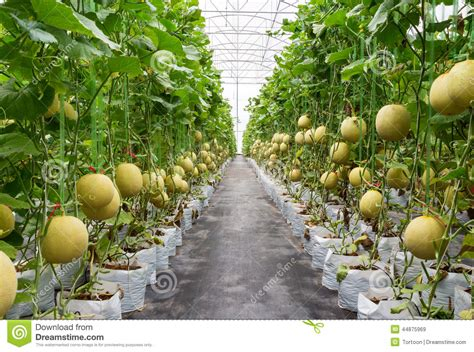 Japanese House Plans yellow melon on field
