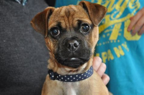 russel x pug percy x pug stud andover hshire pets4homes