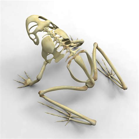 How To Make A 3d Frog Out Of Paper - 3d frog skeleton model