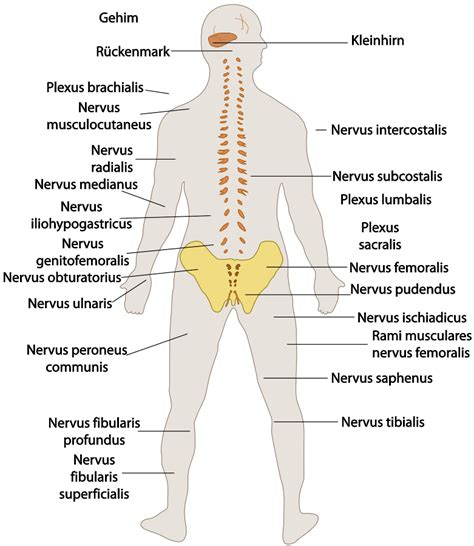 nerves diagram human anatomy educations human and anatomy