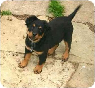 chow rottweiler mix puppies yoko adopted puppy 986 muldrow ok chow chow rottweiler mix