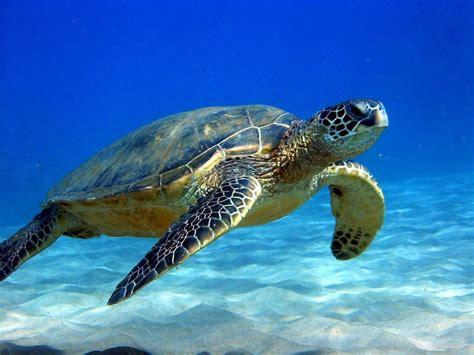 colorful turtle wallpaper the caribbean islands yasmin borhan s blog