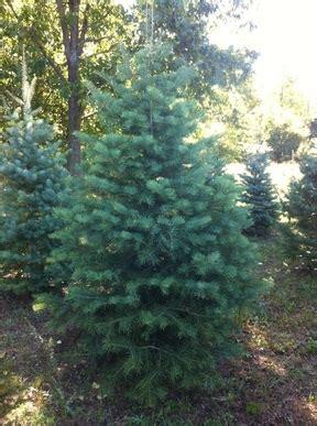 concolorfir hillside christmas tree farm