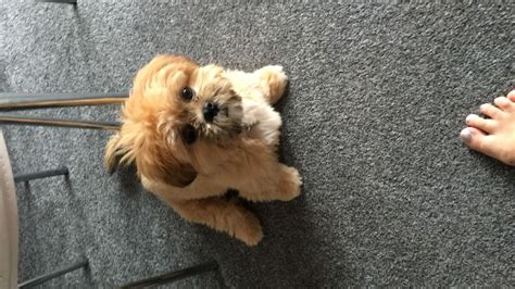 gold shih tzu puppies beautiful gold white shih tzu puppy sold stafford staffordshire pets4homes