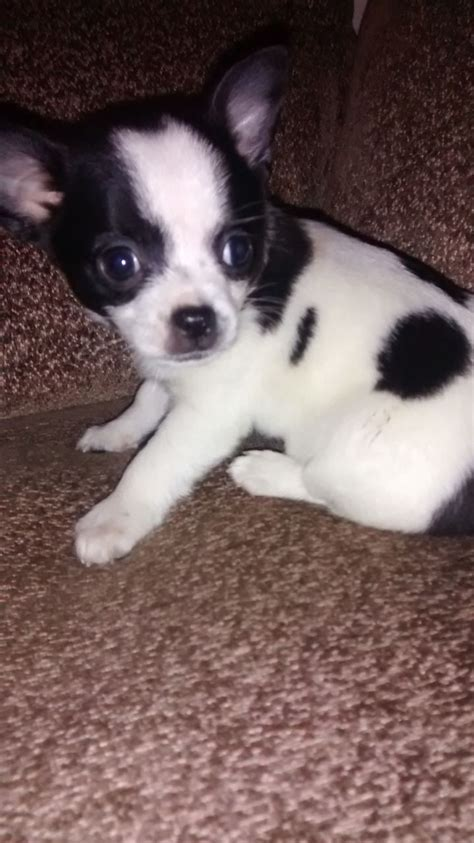 black and white chihuahua puppies black and white chihuahua puppy derby derbyshire
