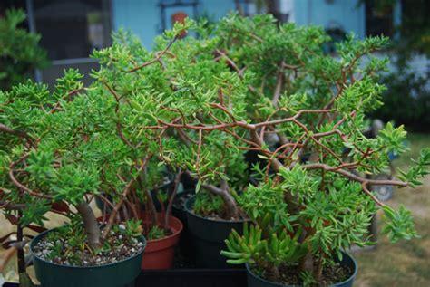 succulents sedum frutescens tree
