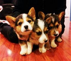 corgi puppies sacramento corgi puppies on pembroke corgi baby corgi a