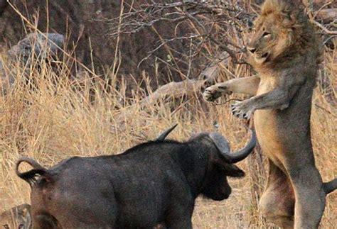 peleas de leones a muerte peleas de leone s salvajes bing images