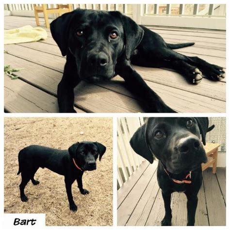 Black Lab Shedding by Adoptable Dogs For March 31 2015