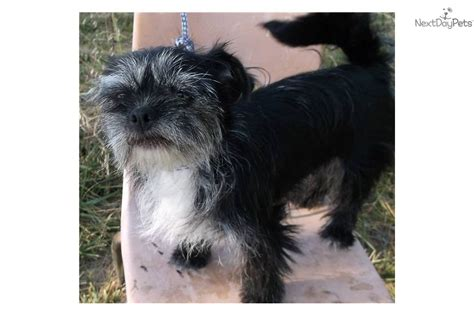 shih tzu chiweenie mix adopt ruthie a mixed other puppy for ruthie the scottie shih tzu