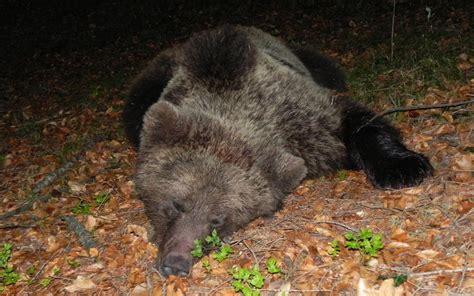 l orso della casa valle dei laghi catturato e dotato di collare un orso