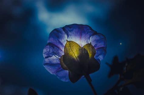 fiore di notte fiore di notte fotografia stock immagine di macro