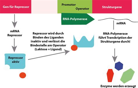 repressor i induktor induktor operon 28 images induktor operon 28 images transkription bei induktor lac operon