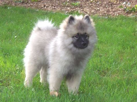 keeshond dogs puppies home pictures