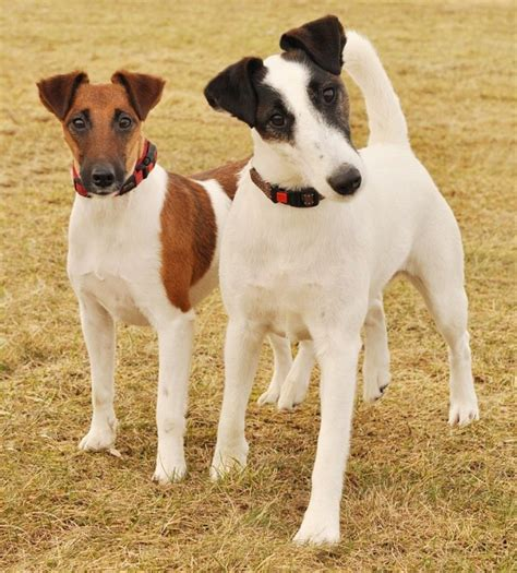 smooth fox terrier puppies get to the smooth fox terrier one confident