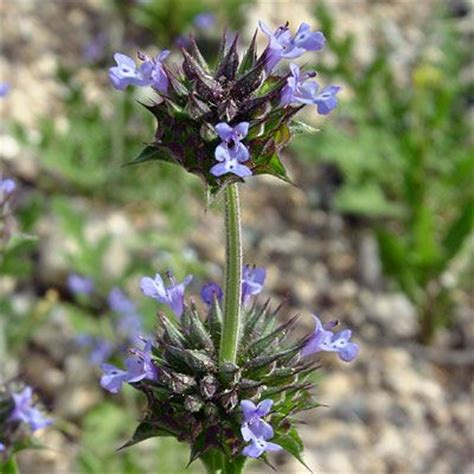 Salvia Columbariae Chia Violet Flowers The Seeds Are Chia Flower Garden