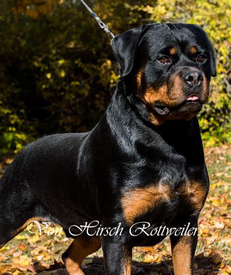 rottweiler puppies for sale on island hirsch rottweilers rottweiler breeder charlestown rhode island