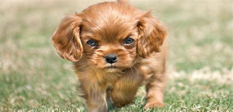 growling puppy ground on growling pedigree