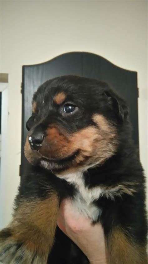 rottweiler x bullmastiff puppies for sale rottweiler x bullmastiff puppies for sale alfreton derbyshire pets4homes