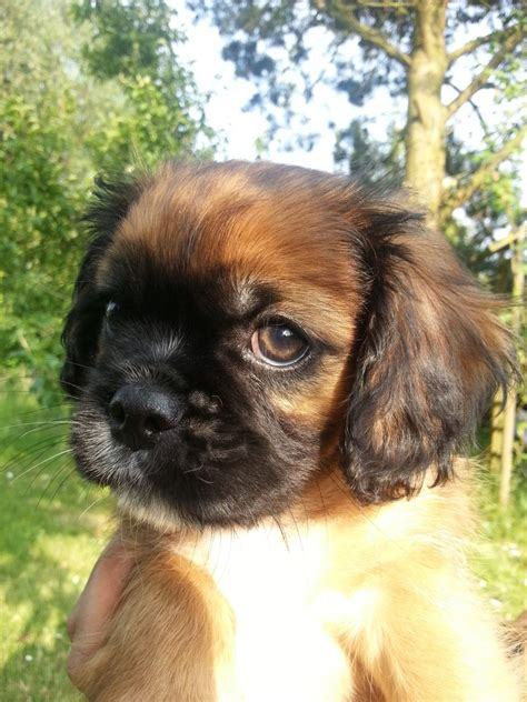 pug x cavalier pug x cavalier ready to go alford lincolnshire pets4homes