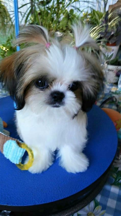 shih tzu images best 25 baby shih tzu ideas on