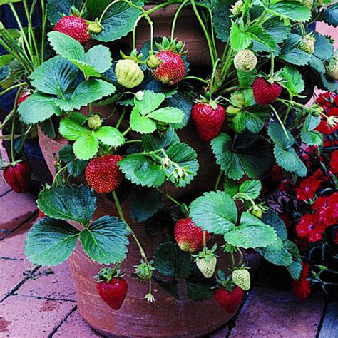 How To Plant Strawberries In A Strawberry Planter by Image Gallery Strawberry Plant