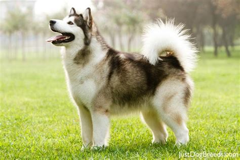 alaskan breeds best small breeds breeds japanese breeds breeds breeds picture