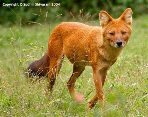 dhole puppy dhole asiatic canidae