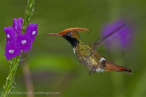 1000 images about hummingbirds on pinterest baby