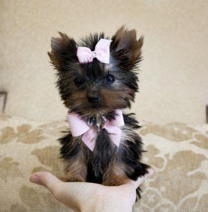 tiny teacup yorkie prices best 25 teacup yorkie price ideas on teacup morkie yorkie puppies and