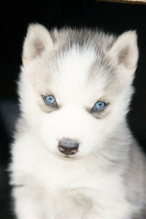 white husky puppy with blue blanc white malamute husky puppy with blue siberian huskies puppy